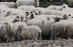 Unit Of Work Of Sheep