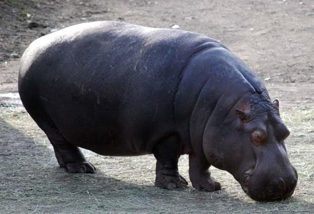 Hippopotamus eating